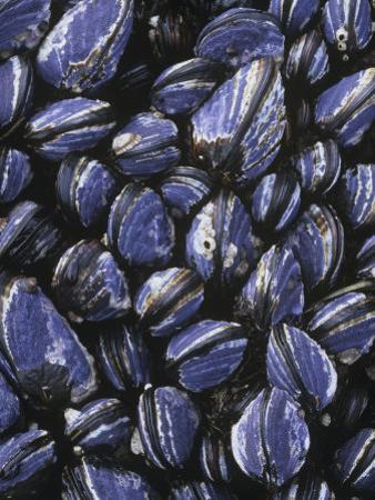 California Mussels, Mytilus Californianus, on Intertidal Rocks, California, Usa, Pacific Ocean