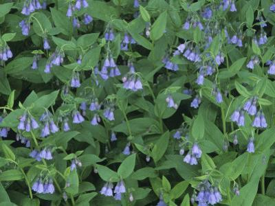 Chiming Bluebells, Mertensia Ciliata, Western North America