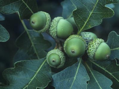 Gambel Oak Tree Leaves and Acorns, Quercus Gambelii, Southwestern North America