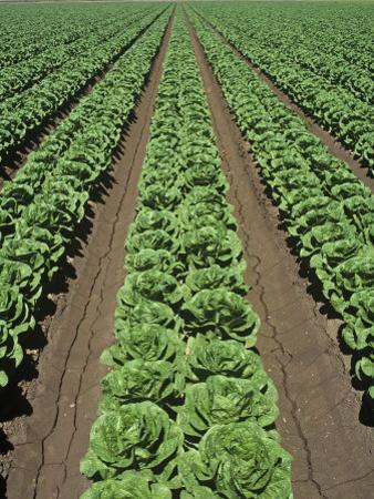 Lettuce Field, Lactuca Sativa, Arizona, USA