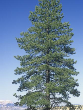 Ponderosa Pine, Pinus Ponderosa, Western USA