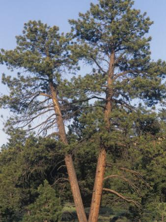 Ponderosa Pines, Pinus Ponderosa, Western North America