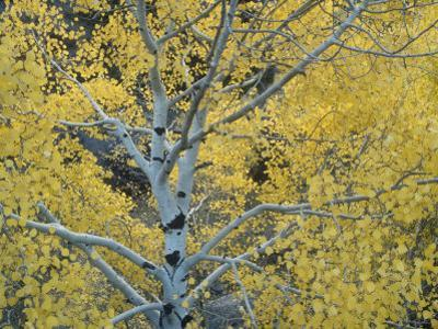 Quaking Aspens in the Fall, Populus Tremuloides, North America