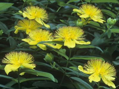 St. John's-Wort Flowers, Hypericum Perforatum, North America