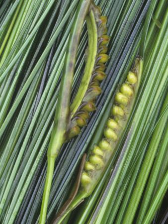 Surf Grass with Seeds, Phyllospadix Scouleri, Pacific Coast of North America