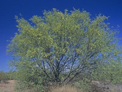 Velvet Mesquite Tree, Prosopis Velutina, Sonoran Desert, Arizona, USA