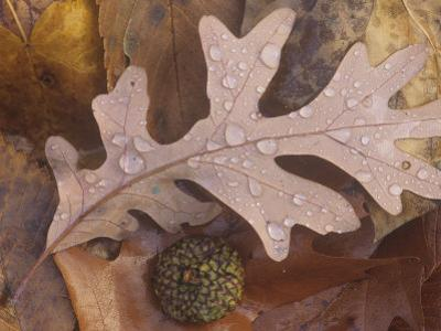 White Oak Tree Fall Leaves with Rain Drops on the Forest Floor, Quercus Alba, North America