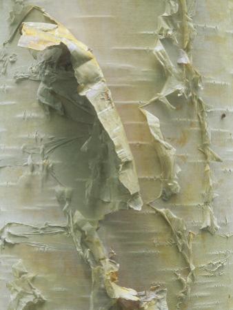 White or Paper Birch Bark, Betula Papyrifera, North America