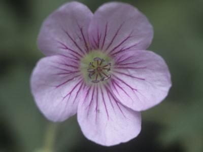 Wild Geranium Flower Showing Nectar Guides, Geranium Viscosissimum, North America