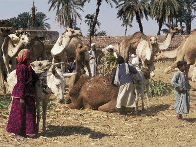 Camel Market, Darwa, Egypt, North Africa, Africa