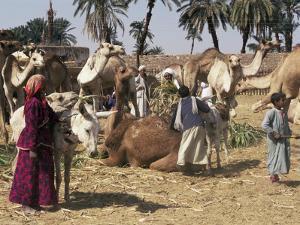 Camel Market, Darwa, Egypt, North Africa, Africa by Doug Traverso