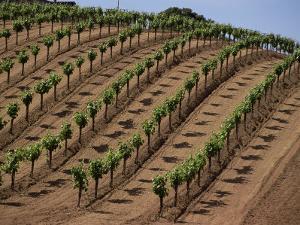 Vineyard, Napa Valley, California, USA by Doug Traverso