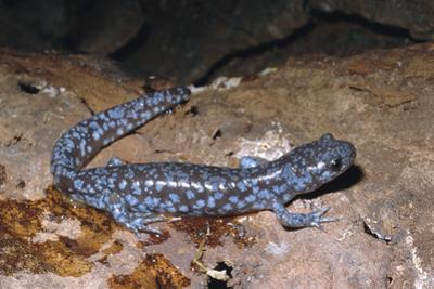 Blue spotted salamander juvenile (Ambystoma laterale) Maryland, USA by Doug Wechsler
