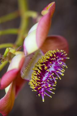 Cannonball Tree, Flower, Honolulu, Oahu, Hawaii by Douglas Peebles