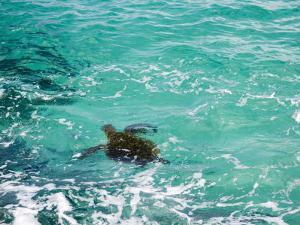 Green sea turtle, Hawaii by Douglas Peebles