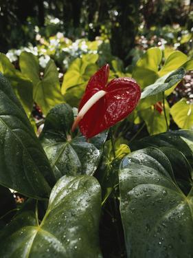 Hawaii Islands, Honolulu, 1100 Alakea St., Anthurium Leaf, Close-up by Douglas Peebles