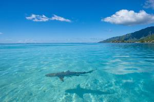 Shark. Tiahura, Moorea, French Polynesia. by Douglas Peebles