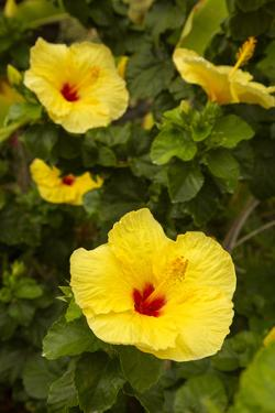 Yellow Hibiscus, Hawaii State Flower, Kailua-Kona, Big Island, Hawaii, USA by Douglas Peebles