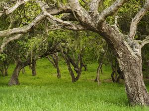 Arching Oaks in Carmel Valley by Douglas Steakley