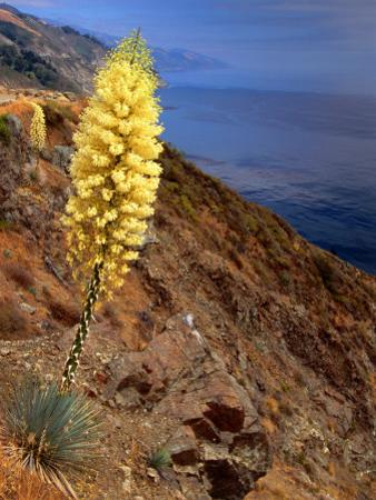 Blooming Yucca Along South Coast by Douglas Steakley