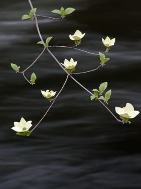 Dogwood Blossom Above the Merced River by Douglas Steakley