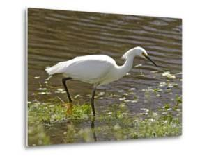 Great White Heron in Elkhorn Slough by Douglas Steakley