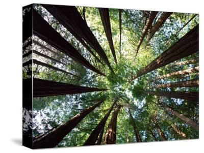 Redwood Grove by Douglas Steakley