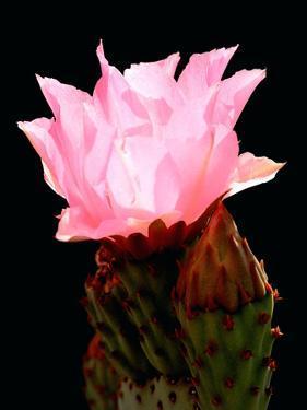 Beaver Tail Cactus Flower by Douglas Taylor