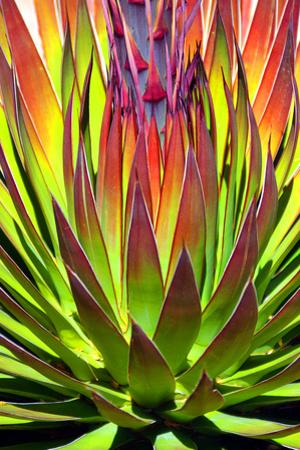 Colorful Agave II by Douglas Taylor
