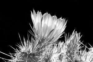 Hedgehog Cactus Flower BW by Douglas Taylor