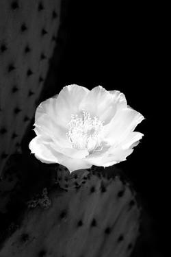Prickly Pear Cactus Blossom BW by Douglas Taylor