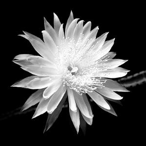 Queen of the Night BW II by Douglas Taylor