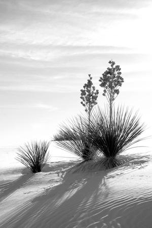 Yucca at White Sands II