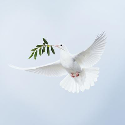 Dove in Flight Carrying Olive Branch in Beak Opeaceo