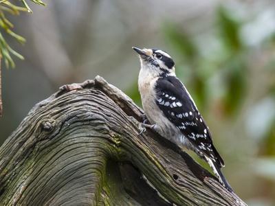 https://imgc.allpostersimages.com/img/posters/downy-woodpecker_u-L-PZPTV70.jpg?p=0
