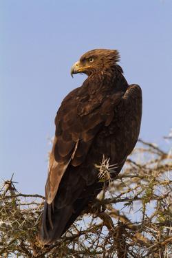 African Hawk Eagle by DR_Flash