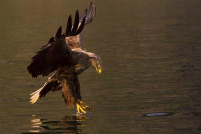White Tailed Eagle in Norway by Dr. Hermann Brehm