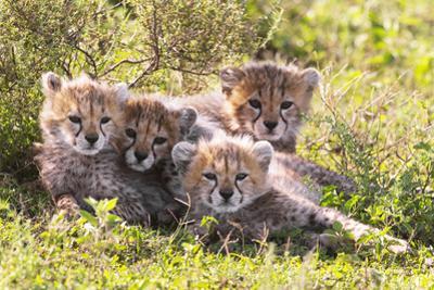 Wild cats Cheetah cubs in Tanzania by Dr. Hermann Brehm