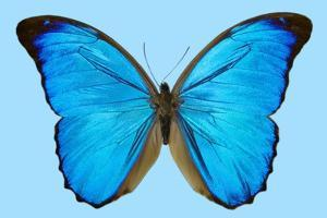 Blue Morpho Butterfly by Dr. Keith Wheeler