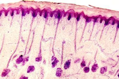 Skin Sweat Glands, Light Micrograph