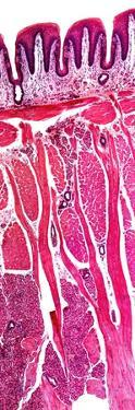 Tongue Section, Light Micrograph by Dr. Keith Wheeler
