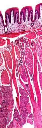 Tongue Section, Light Micrograph