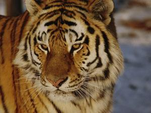 A Close View of a Siberian Tiger by Dr. Maurice G. Hornocker