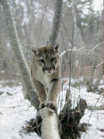A Mountain Lion Walks Along a Tree Branch in Winter