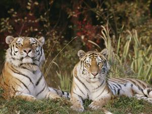 A Portrait of Two Captive Siberian Tigers by Dr. Maurice G. Hornocker