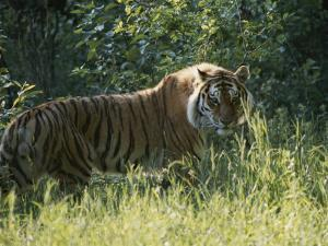 A Tiger in the Grass by Dr. Maurice G. Hornocker