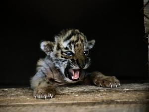 A Young Siberian Tiger by Dr. Maurice G. Hornocker