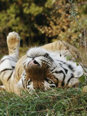 An Adult Siberian Tiger Lounges on His Back by Dr. Maurice G. Hornocker