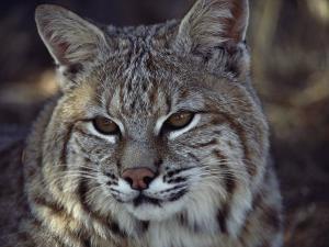 Close-Up of a Bobcat by Dr. Maurice G. Hornocker