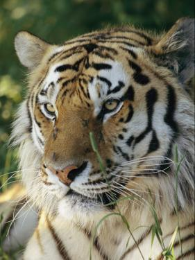Portrait of a Tiger by Dr. Maurice G. Hornocker